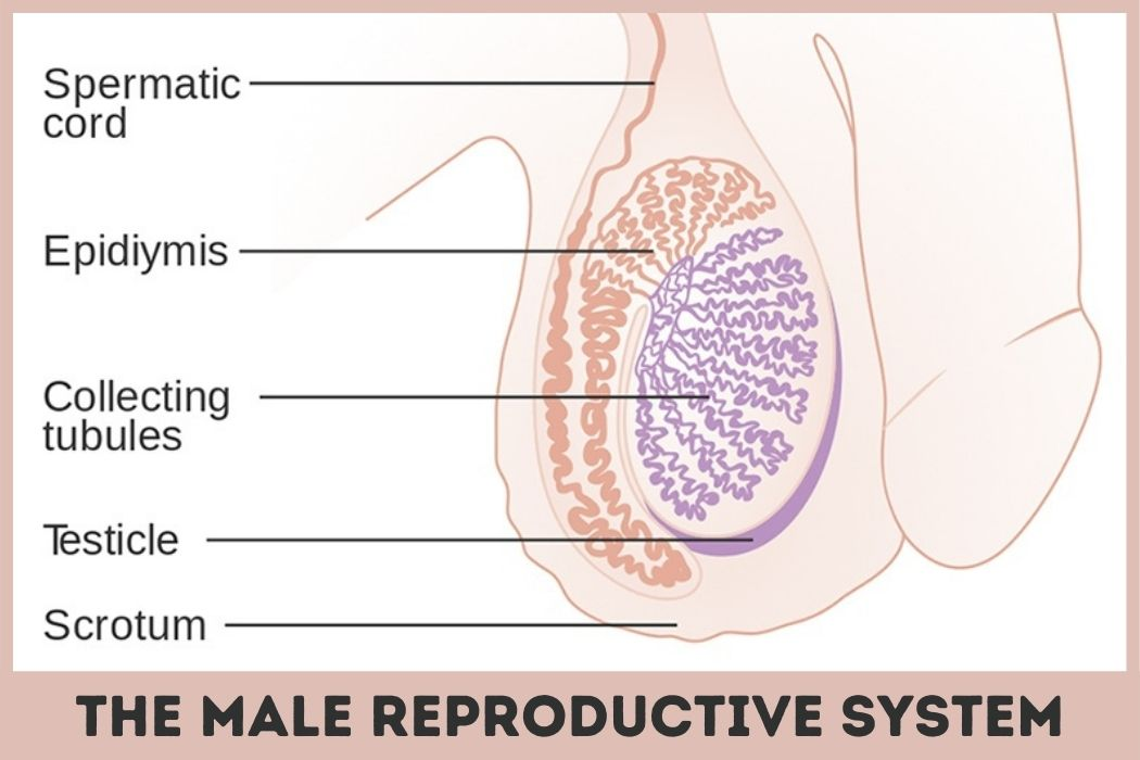 testicle size anatomy representation